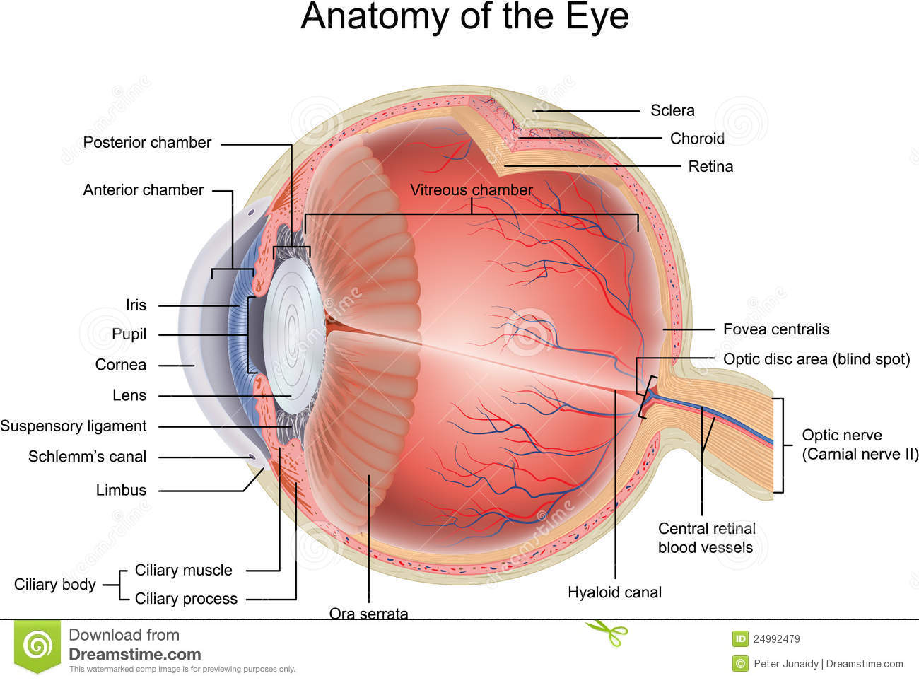 Anatomy of the Eye stock vector. Illustration of biology - 24992479