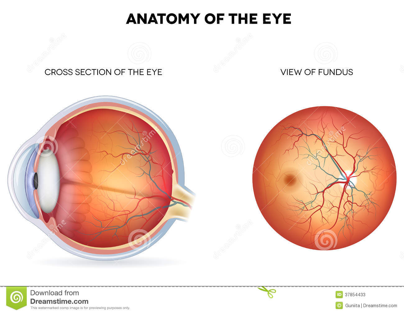 Anatomy of the eye cross section and view of fund stock photos