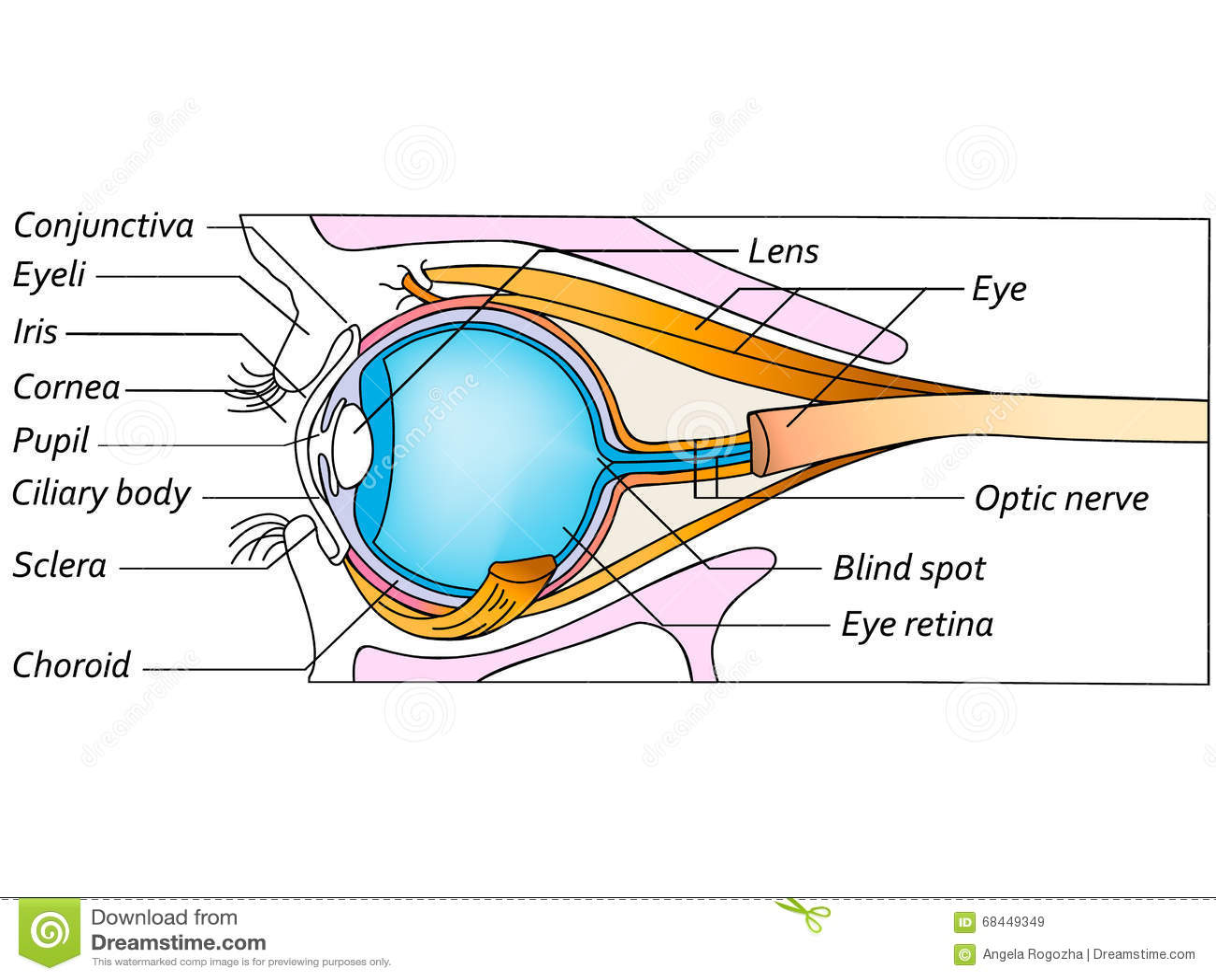 Anatomy Of The Eye Detailed Illustration Stock Illustration