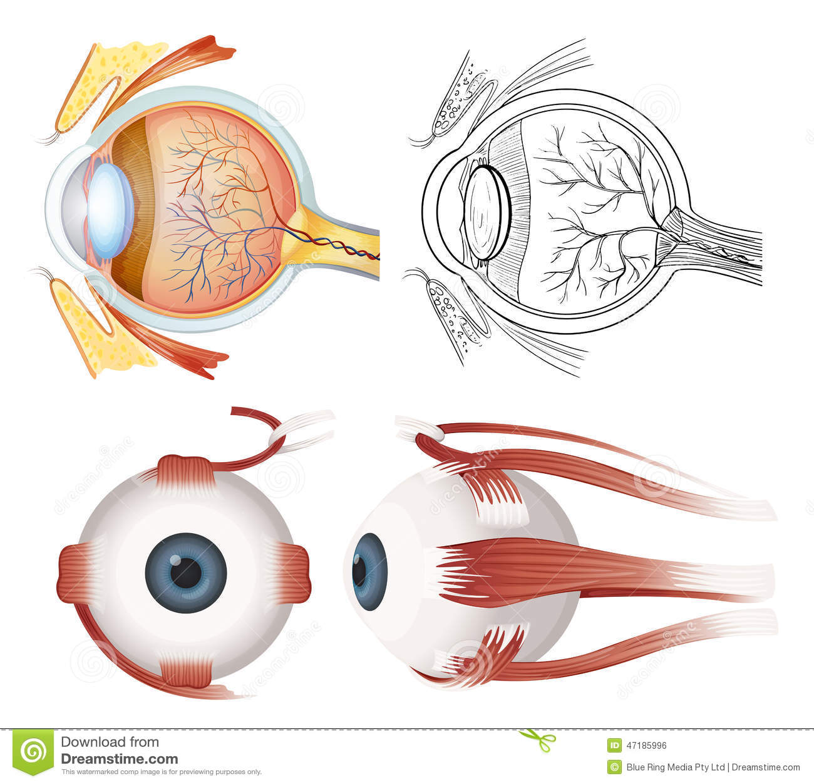 Anatomy Of The Eye Stock Vector Illustration Of Anatomy 47185996