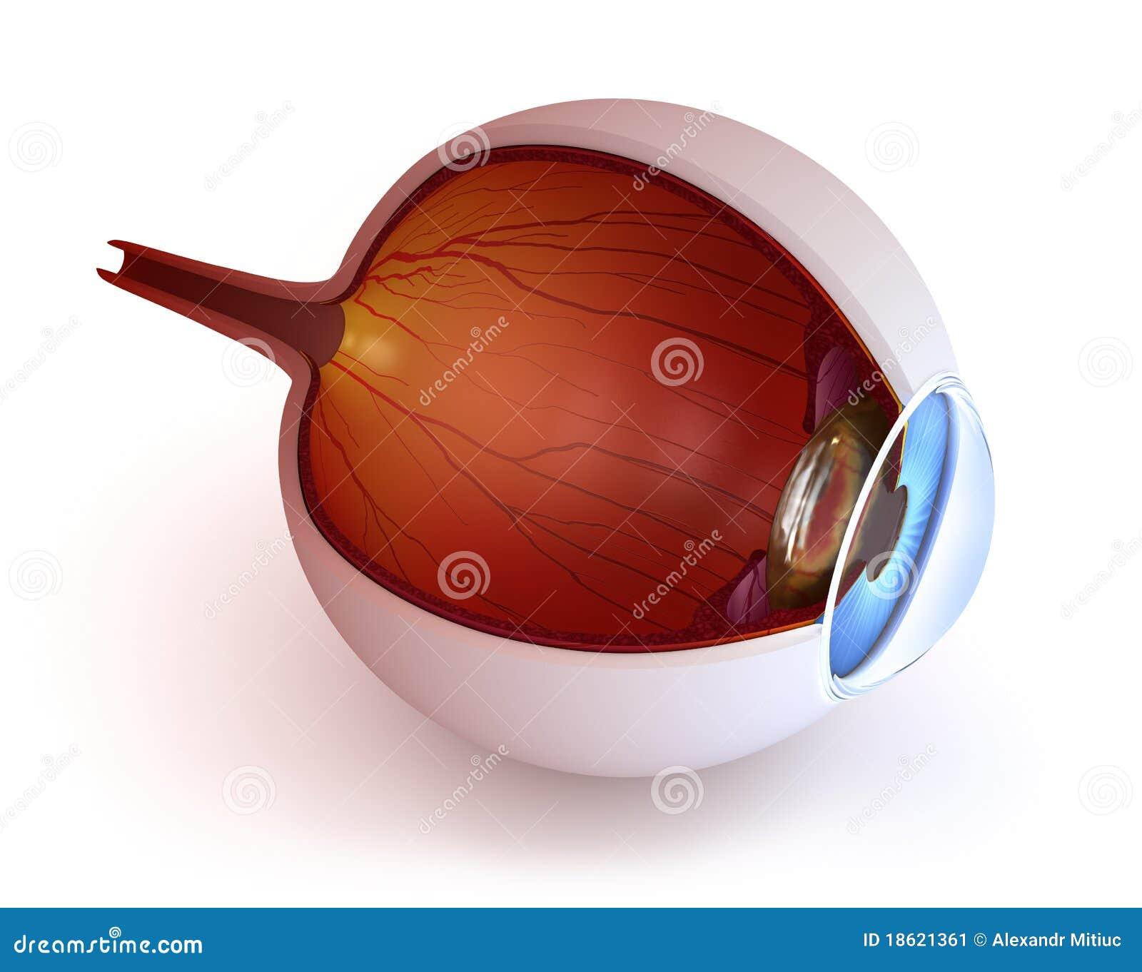 Anatomy of eye - inner structure