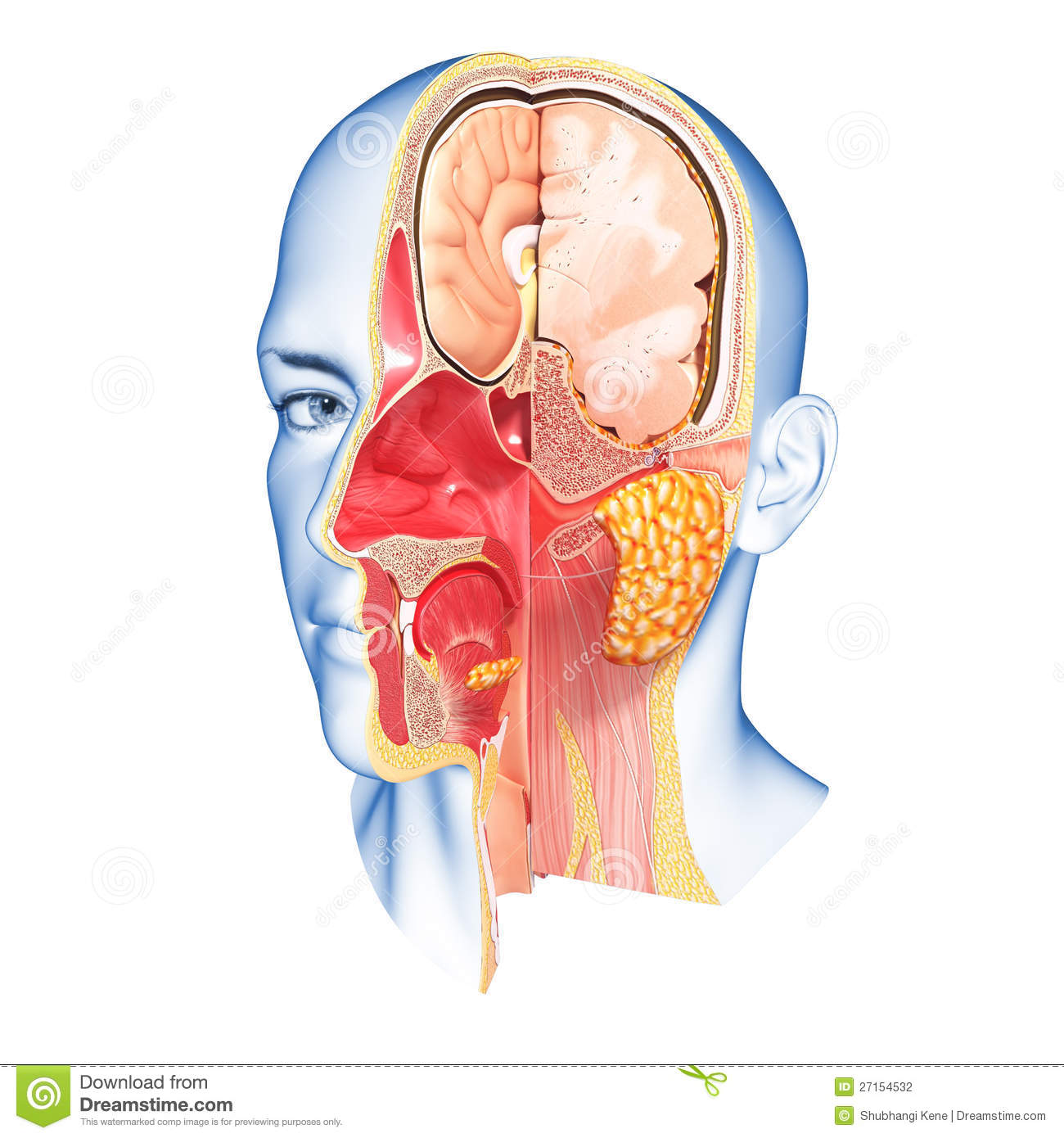 Anatomy Of Face Cross Section Stock Illustration - Illustration of ...