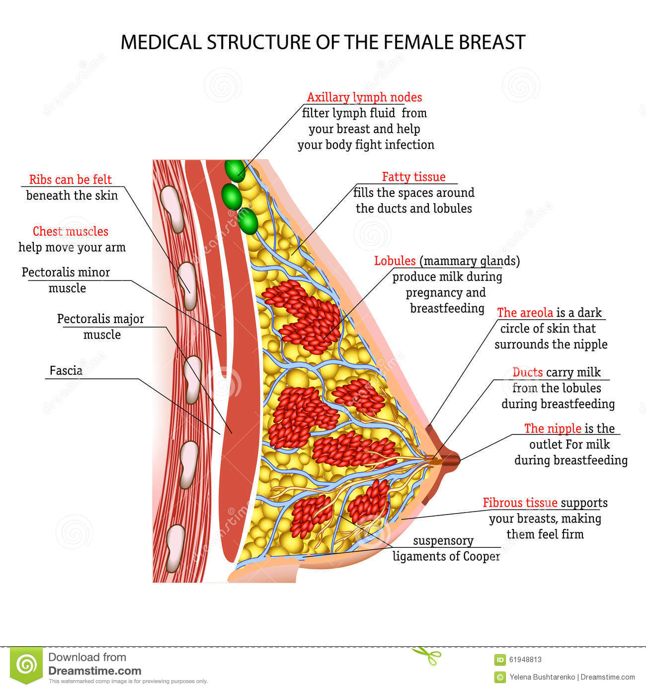 Anatomy Of The Female Breast Stock Vector Illustration Of Medical