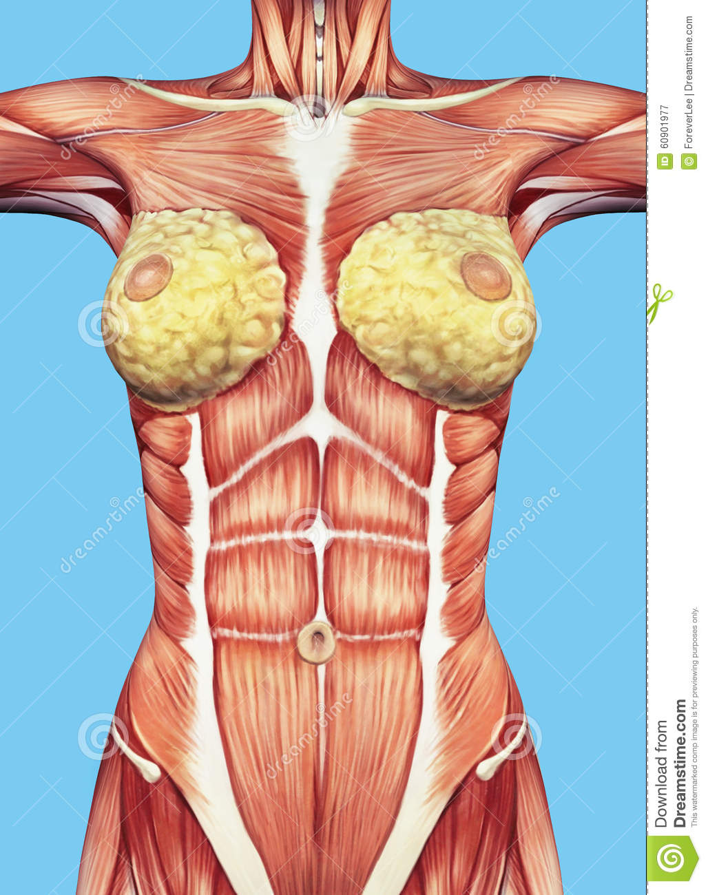 Anatomy Of Female Chest And Torso. Stock Illustration - Illustration ...