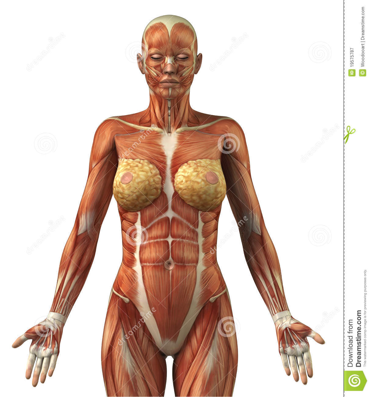 Anatomy Of Female Frontal Muscular System Stock Illustration