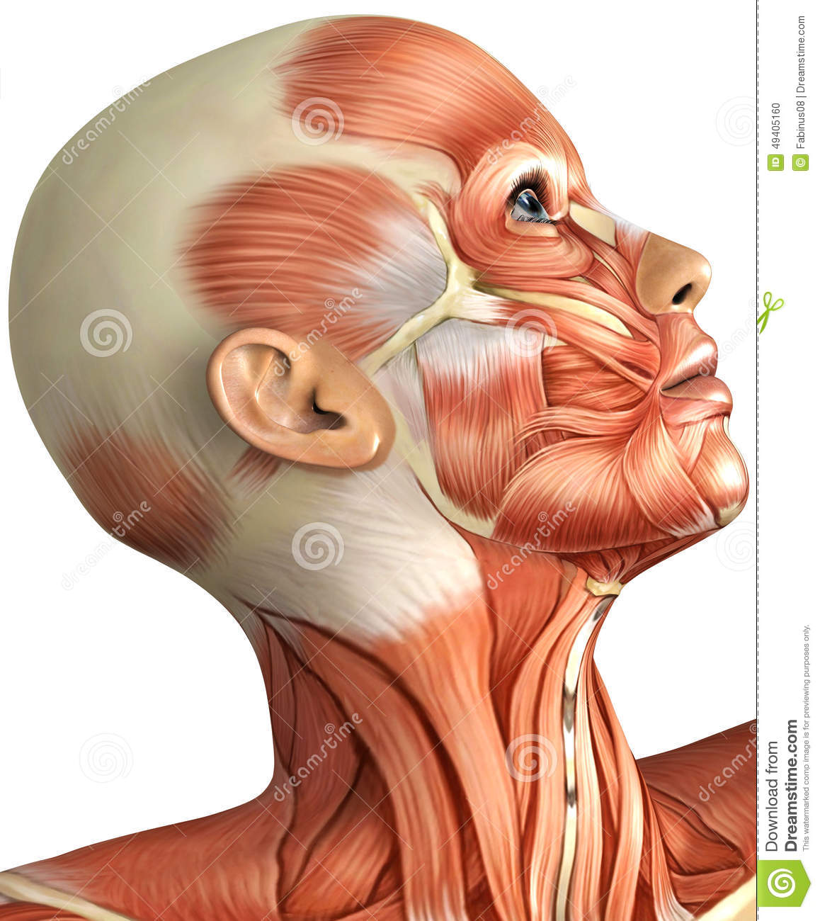 Anatomy Of Female Head Stock Illustration  Illustration Of