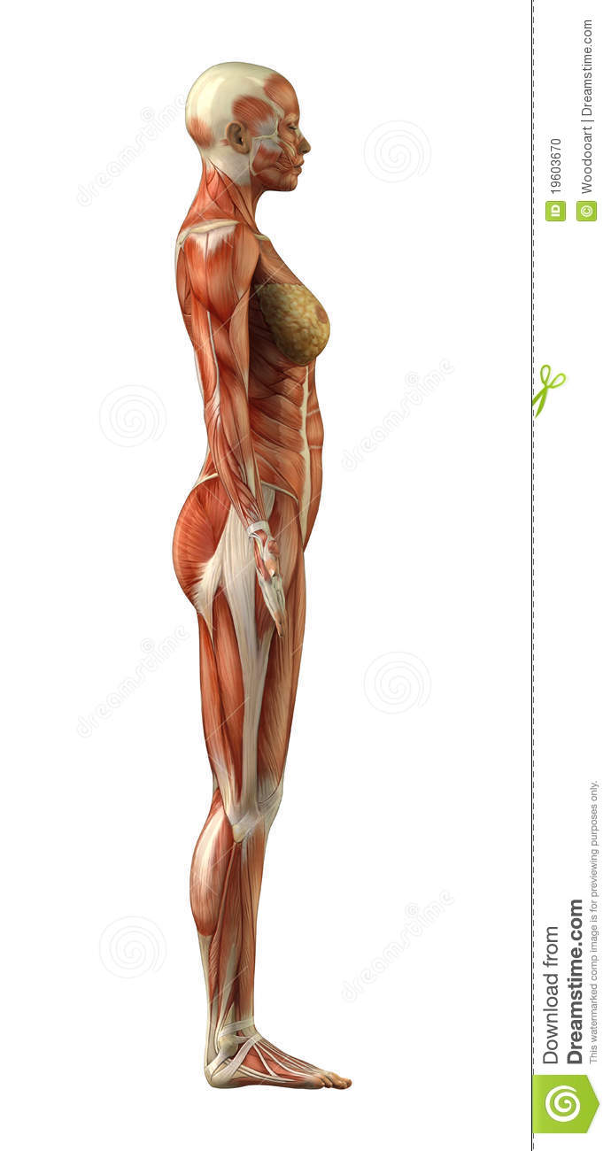 Anatomy Of Female Muscular System Stock Illustration - Illustration ...