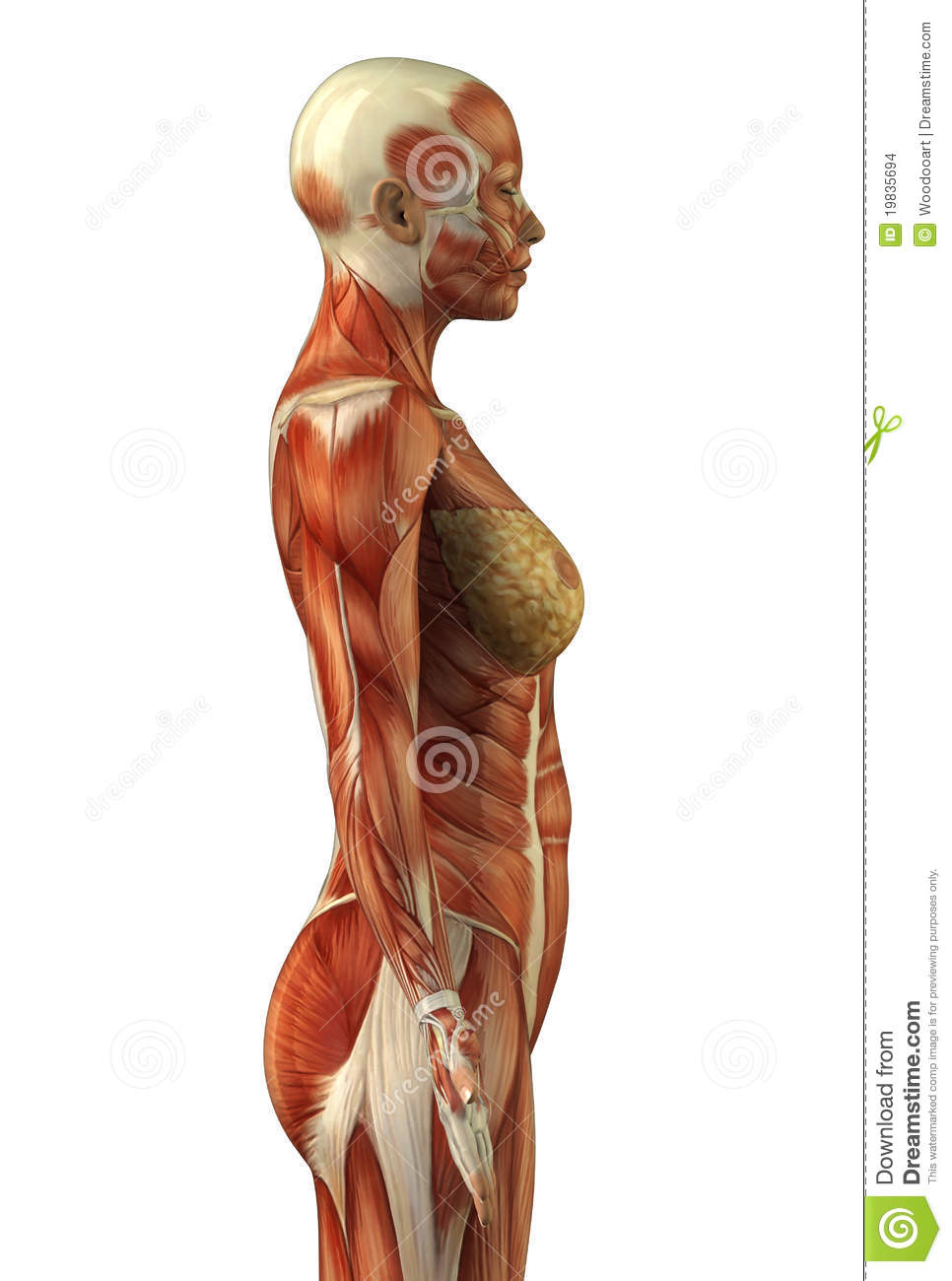 Anatomy Of Female Muscular System Stock Illustration Illustration