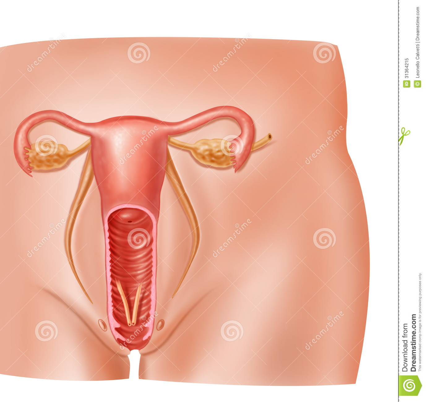 Anatomy Female Reproductive System Cross Section. Stock Illustration ...