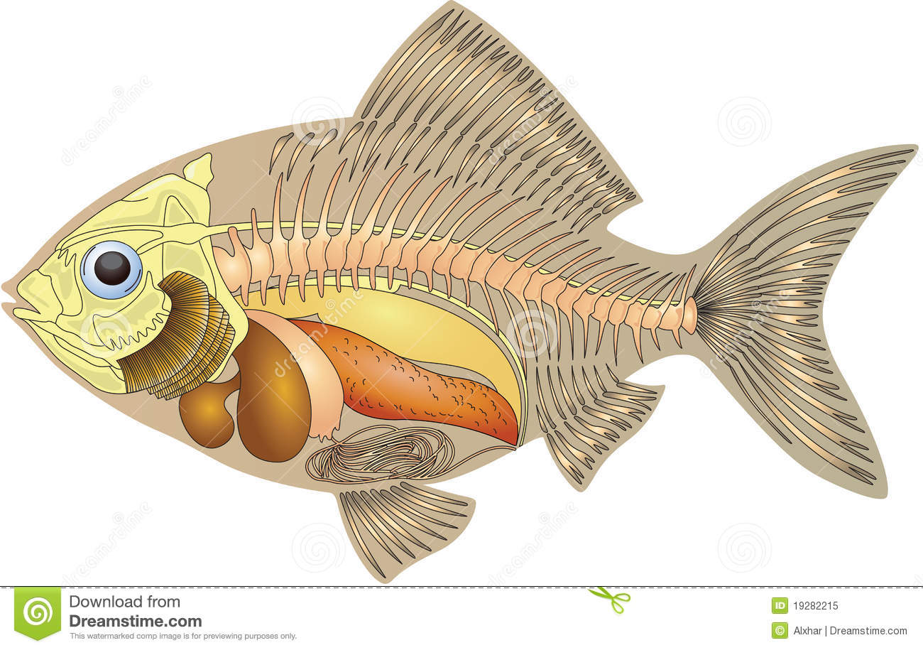 Anatomy of a fish stock illustration. Illustration of science - 19282215