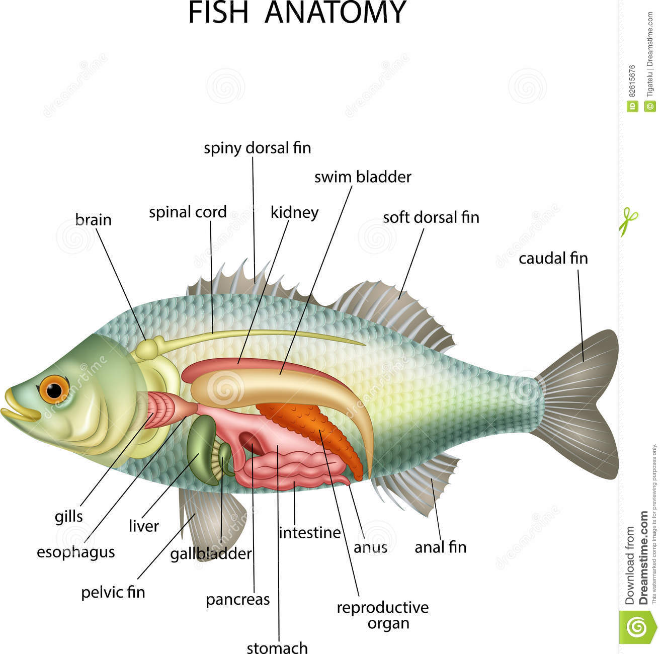 anatomy of fish stock vector illustration of diagram 82615676illustration of anatomy of fish