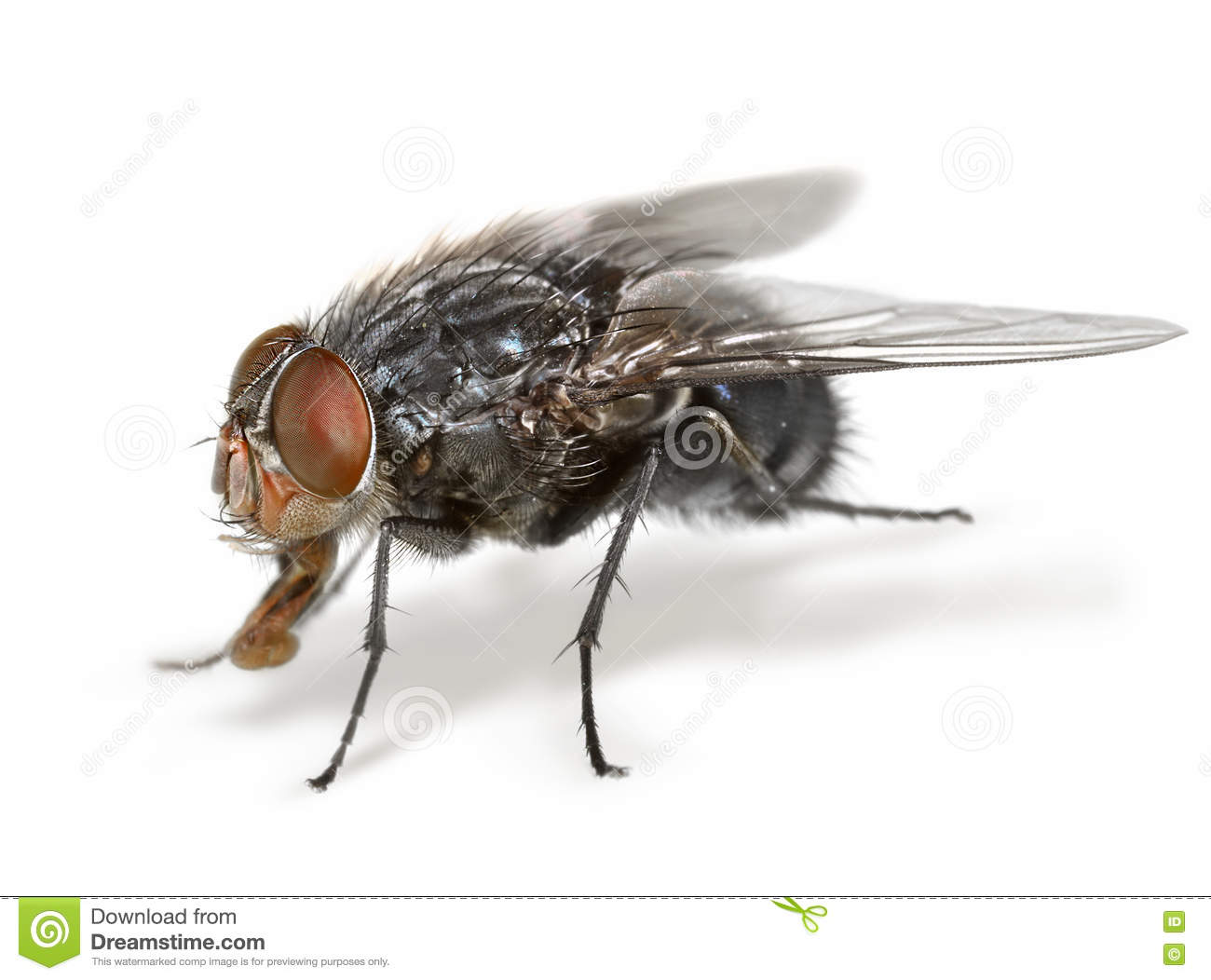 Anatomy of a fly stock photo. Image of closeup, close - 77007980