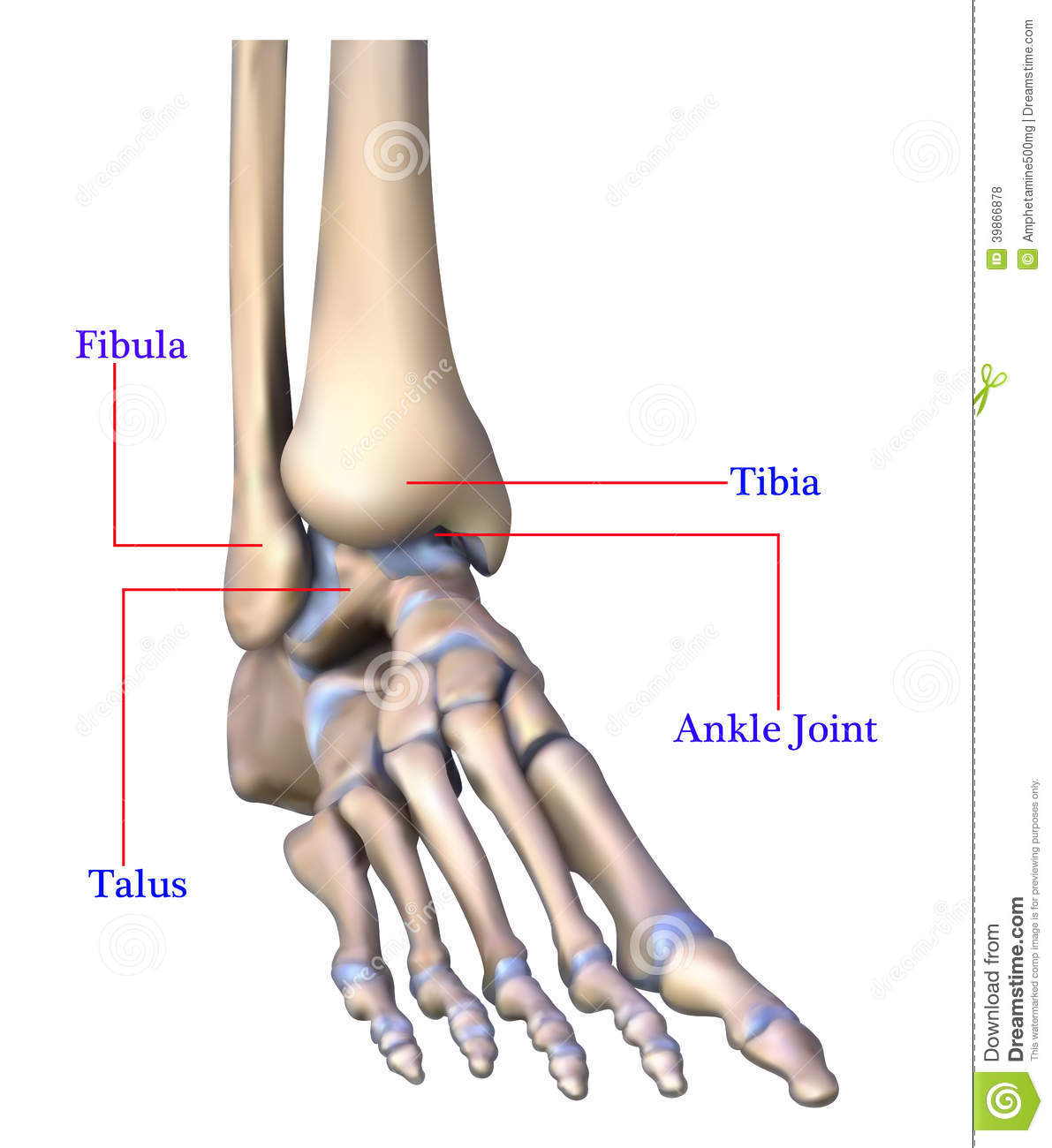 Anatomy of foot bone stock illustration. Illustration of graphic ...