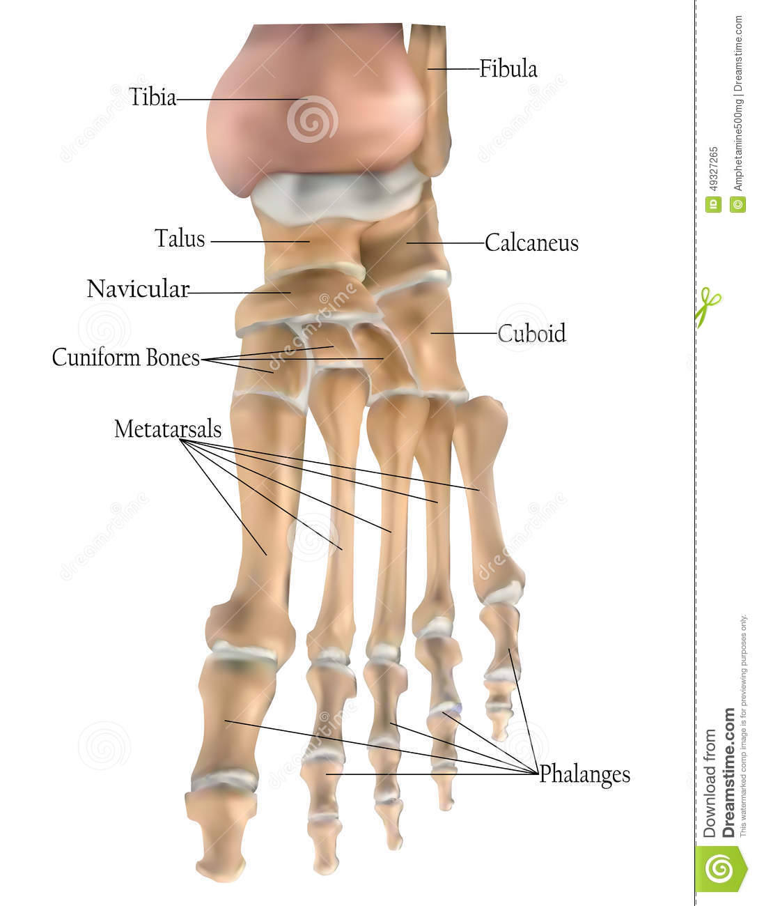 Anatomy Of The Foot Bones Stock Illustration Illustration Of Bone