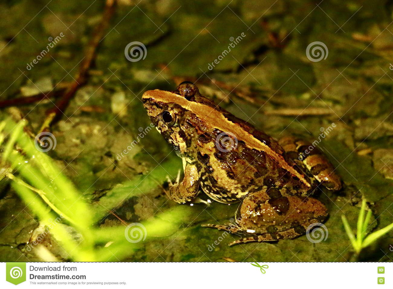 Download Anatomy Of Frogs, Animals, Amphibians. Stock Image - Image of black, frogs: 80332541
