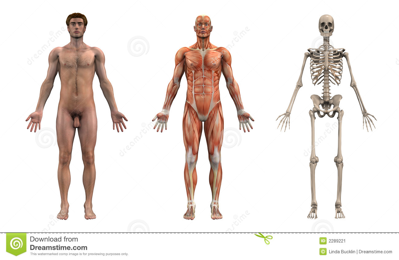Anatomy Front - Adult Male