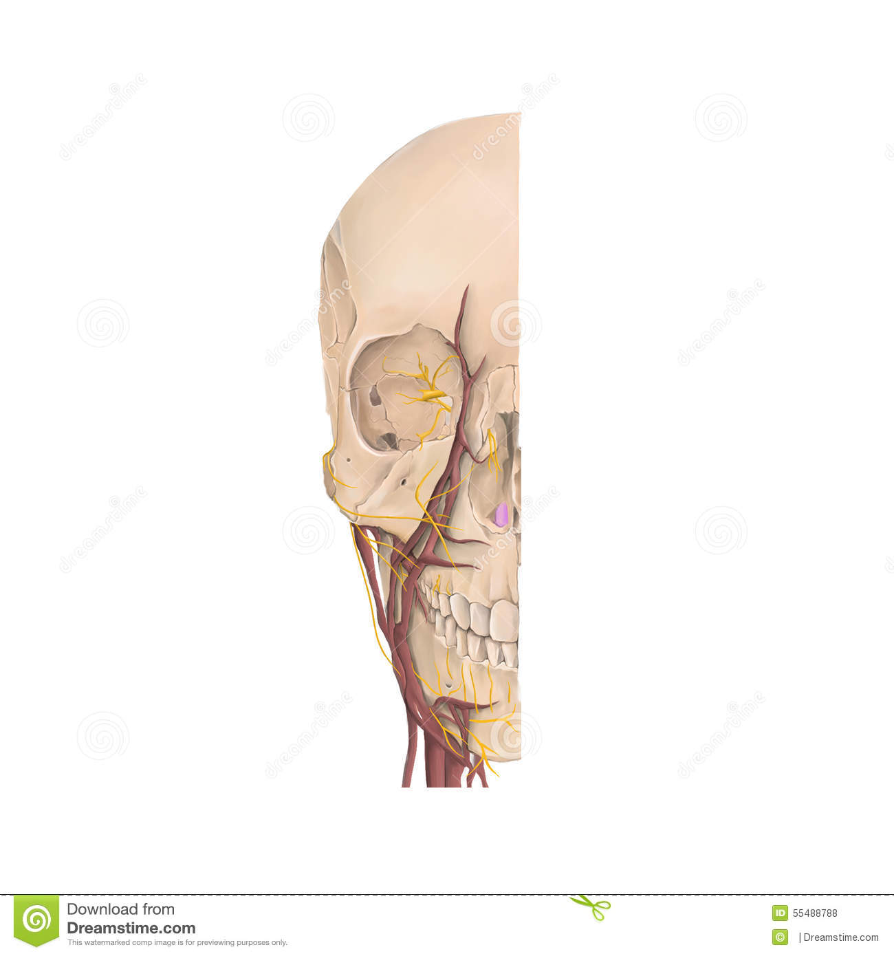 Anatomy Front View Of The Bones Of The Human Face Stock Illustration ...