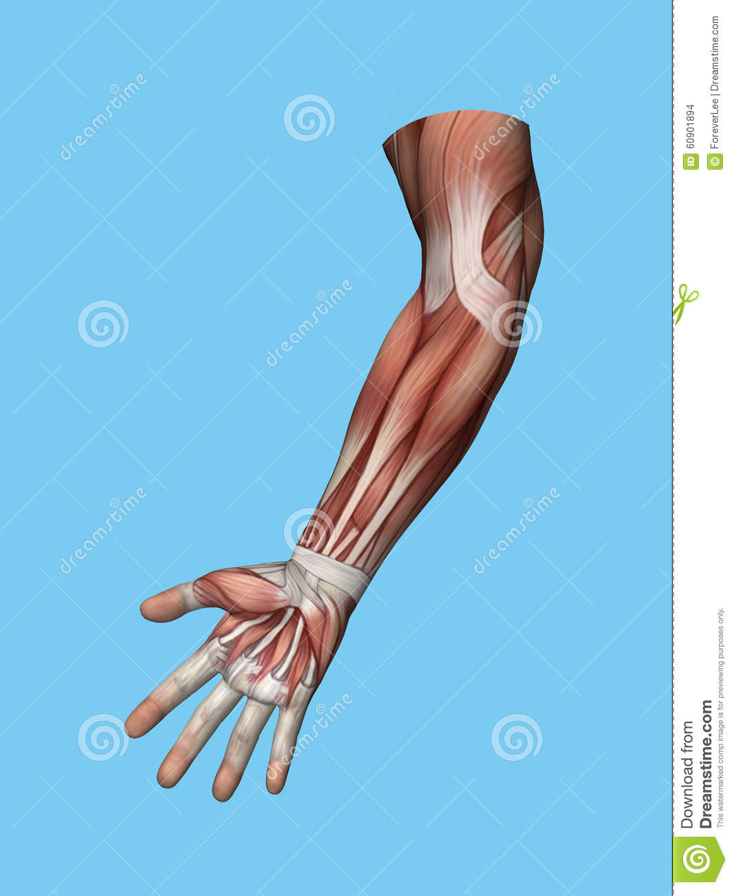 Anatomy Front View Of Hand And Arm Stock Illustration