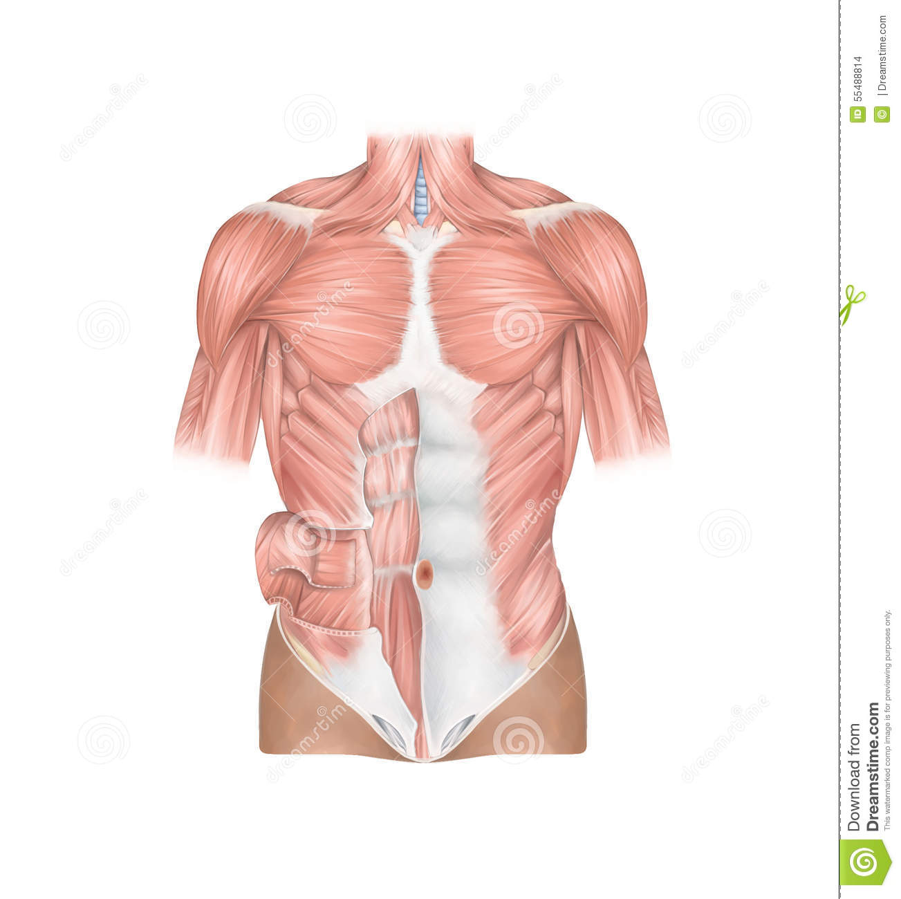 Anatomy Front View Of The Human Thoracic And Abdominal Wall Muscles