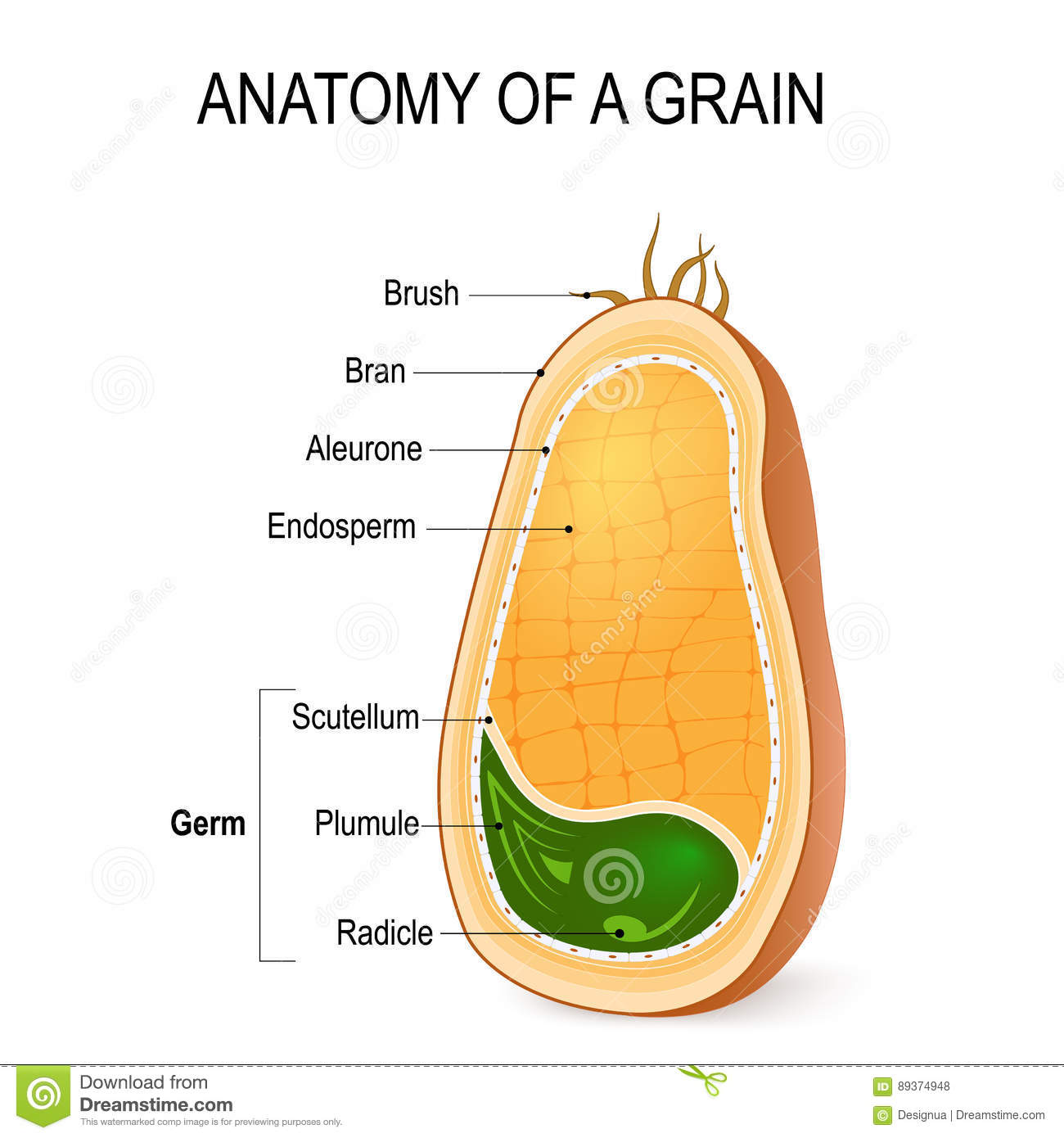 Anatomy Of A Grain  Inside The Seed  Stock Vector
