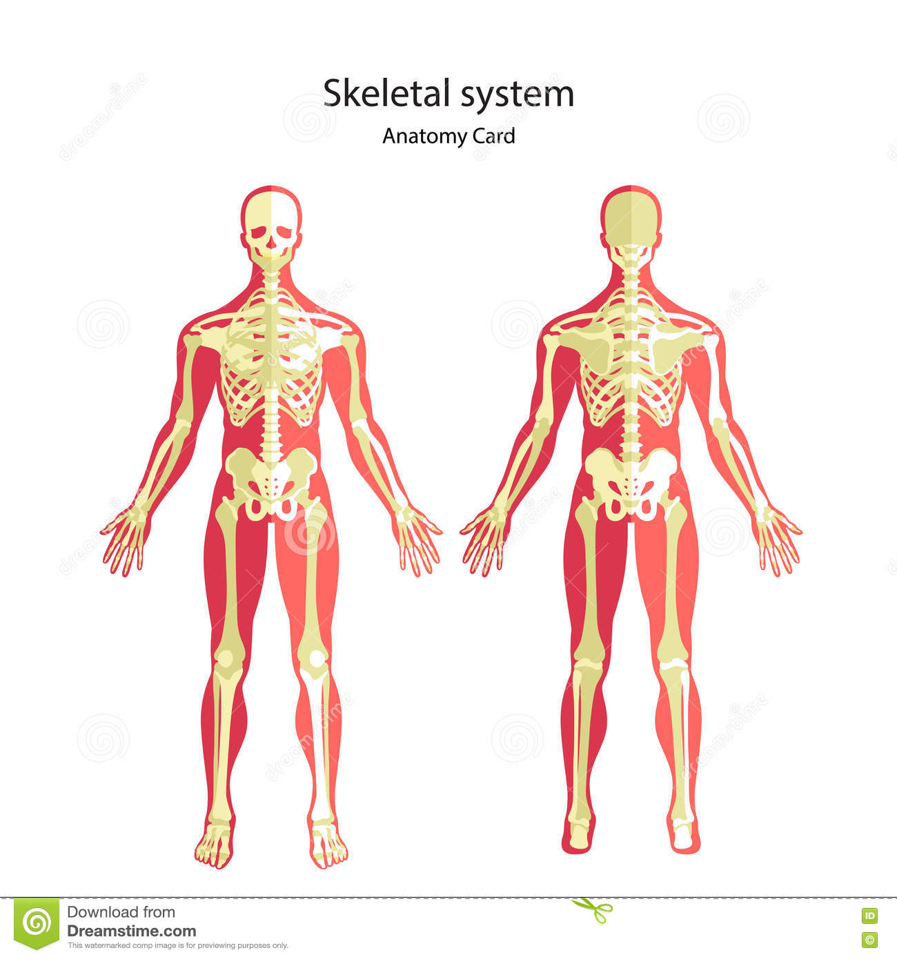 Anatomy Guide Of Human Skeleton. Anatomy Didactic Board Of Human ...