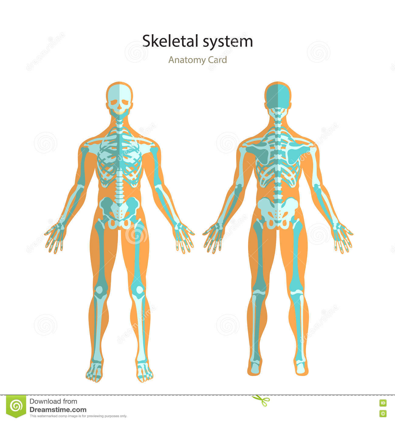 Anatomy Guide Of Human Skeleton Anatomy Didactic Board Of Human