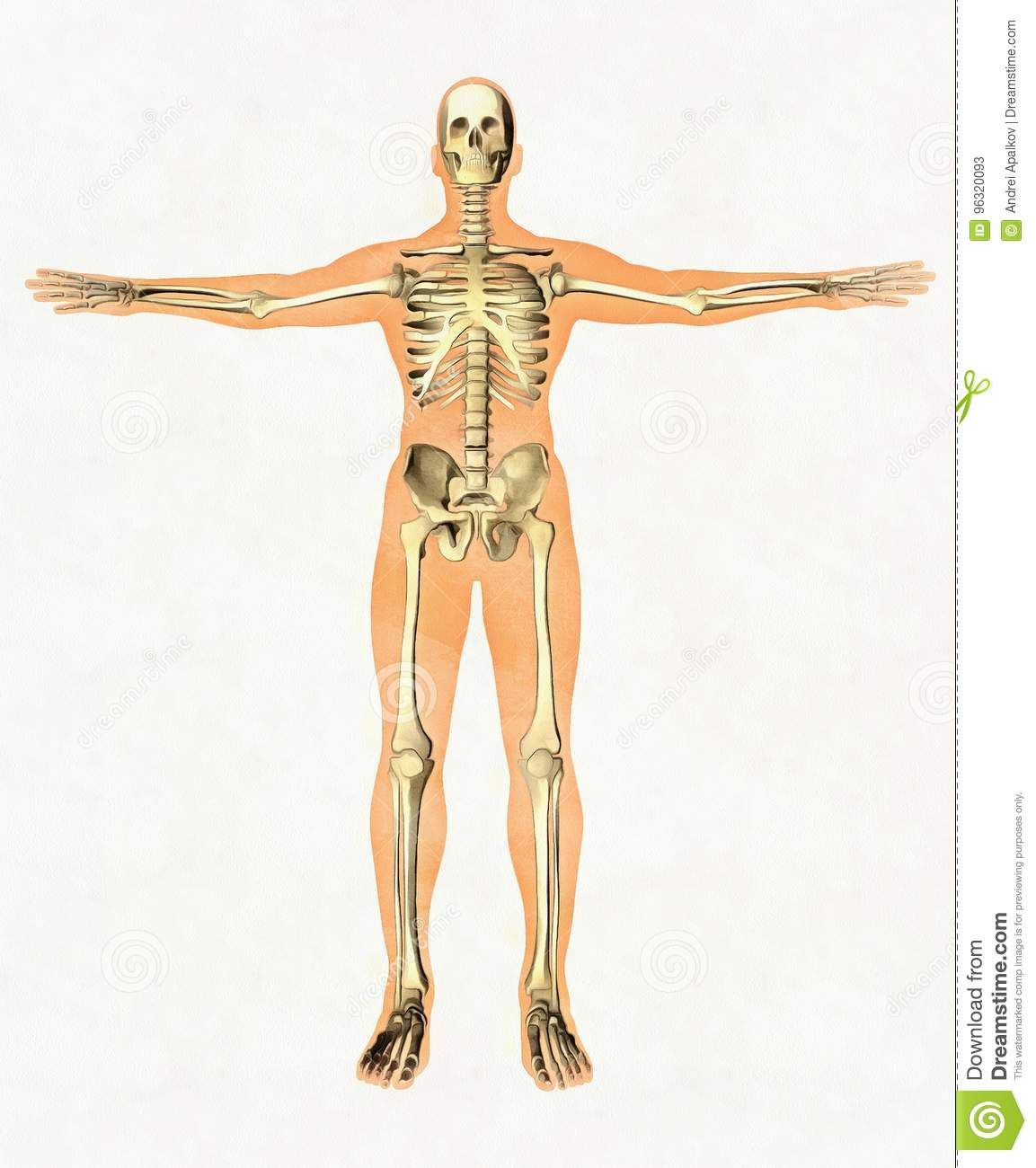 Anatomy Guide Of Human Skeleton Didactic Board Of Bony System
