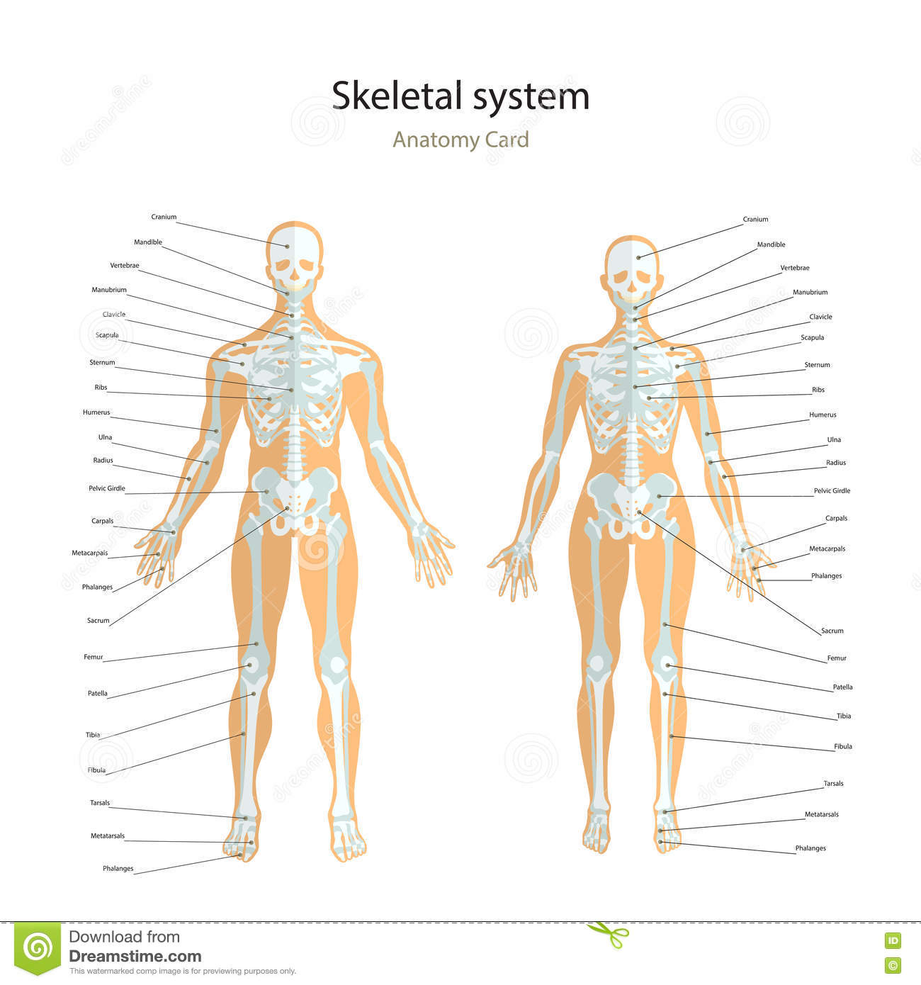 Anatomy Guide Male And Female Skeleton With Explanations Front