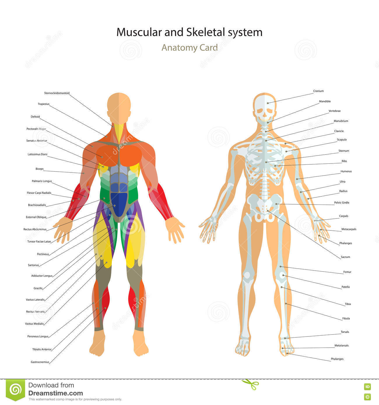 Anatomy Guide Male Skeleton And Muscles Map With Explanations