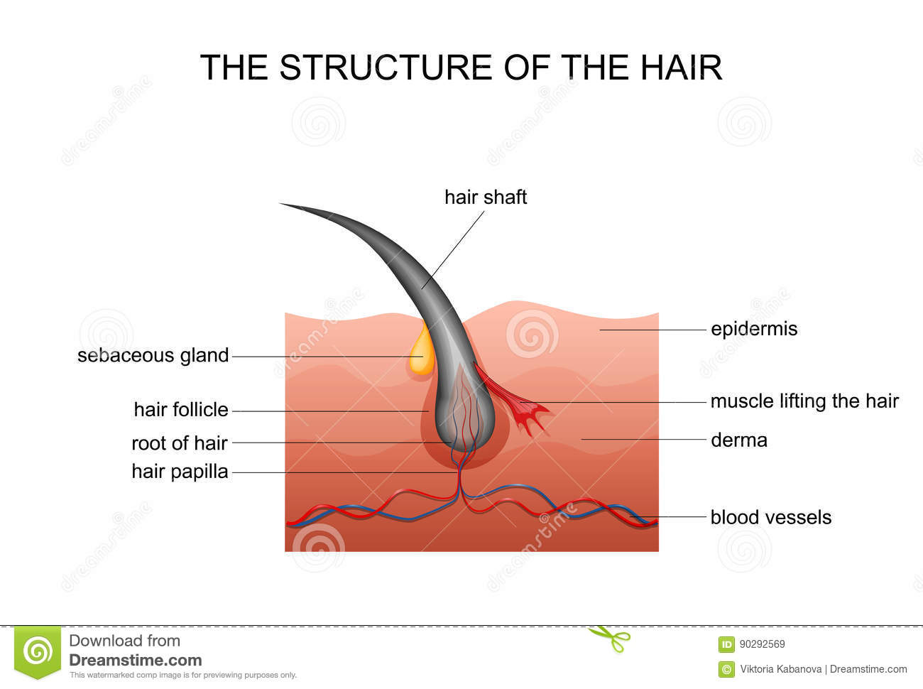 Anatomy of hair stock vector. Illustration of body, face - 90292569