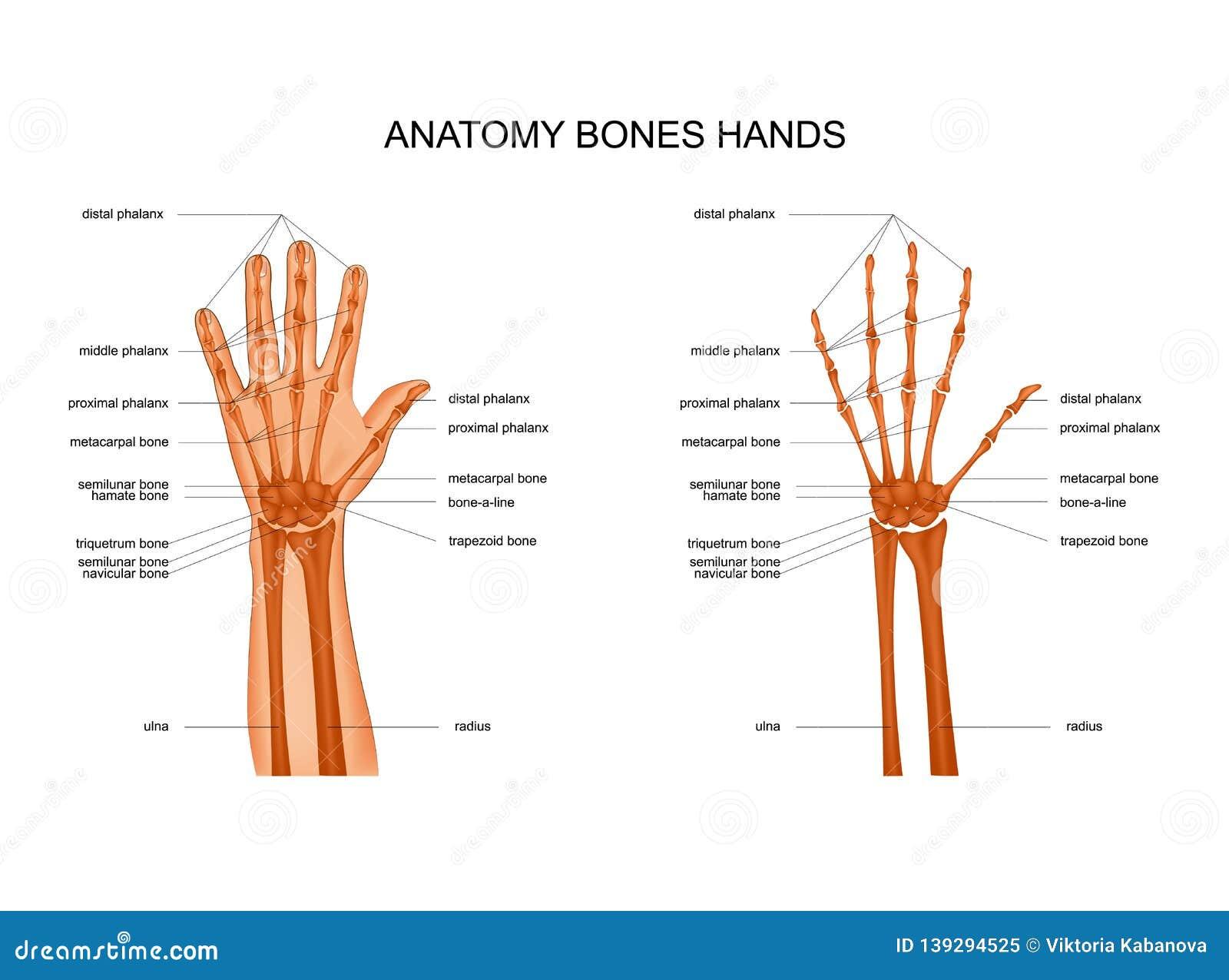 Anatomy Of Hand Bones Stock Vector Illustration Of Health 139294525