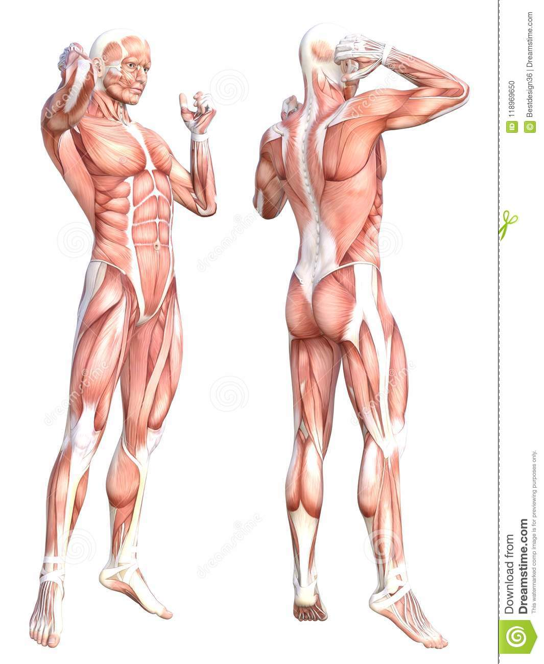 Anatomy Healthy Skinless Human Body Muscle System Stock Illustration