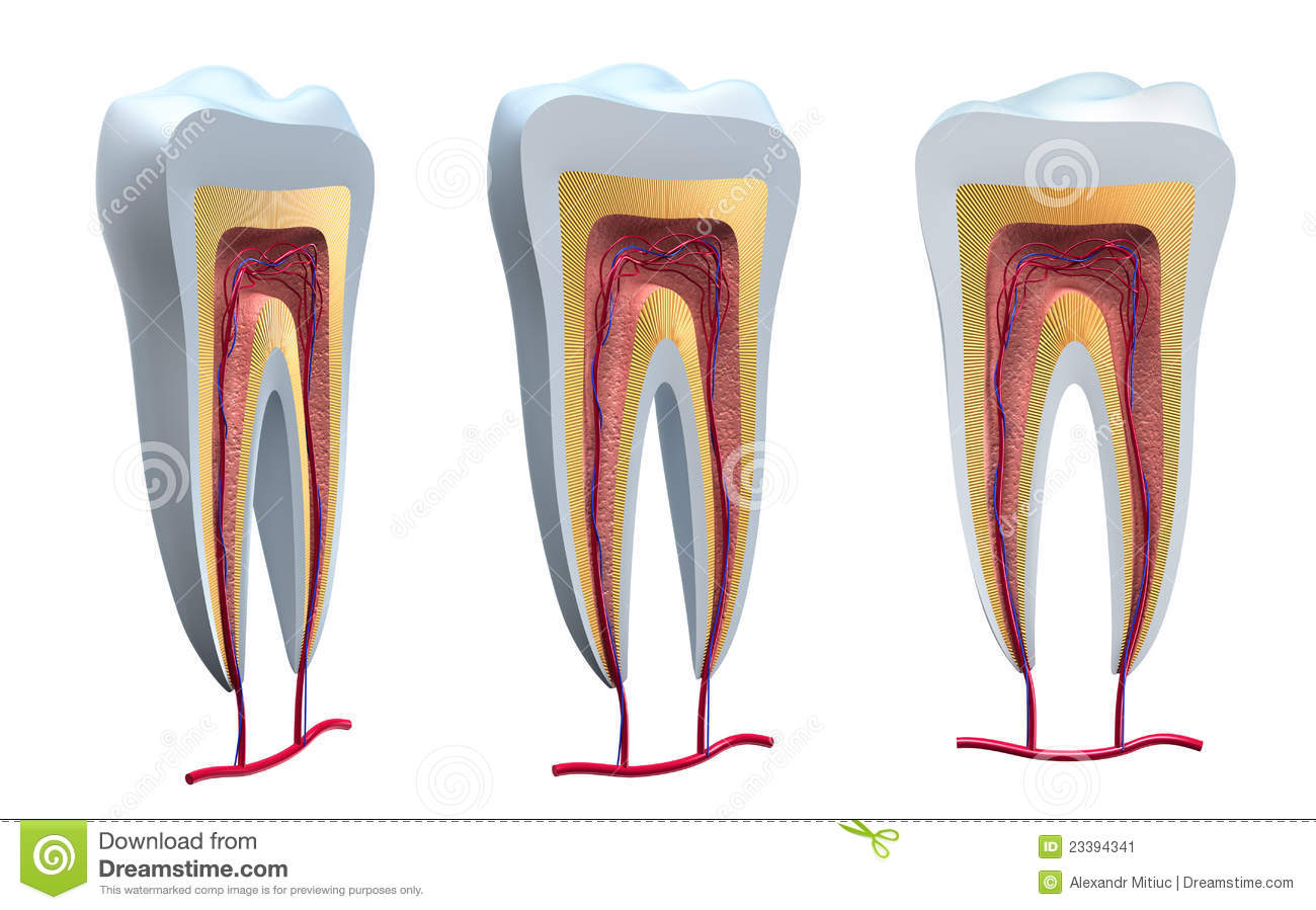 Anatomy Of Healthy Teeth In Details Stock Illustration ...