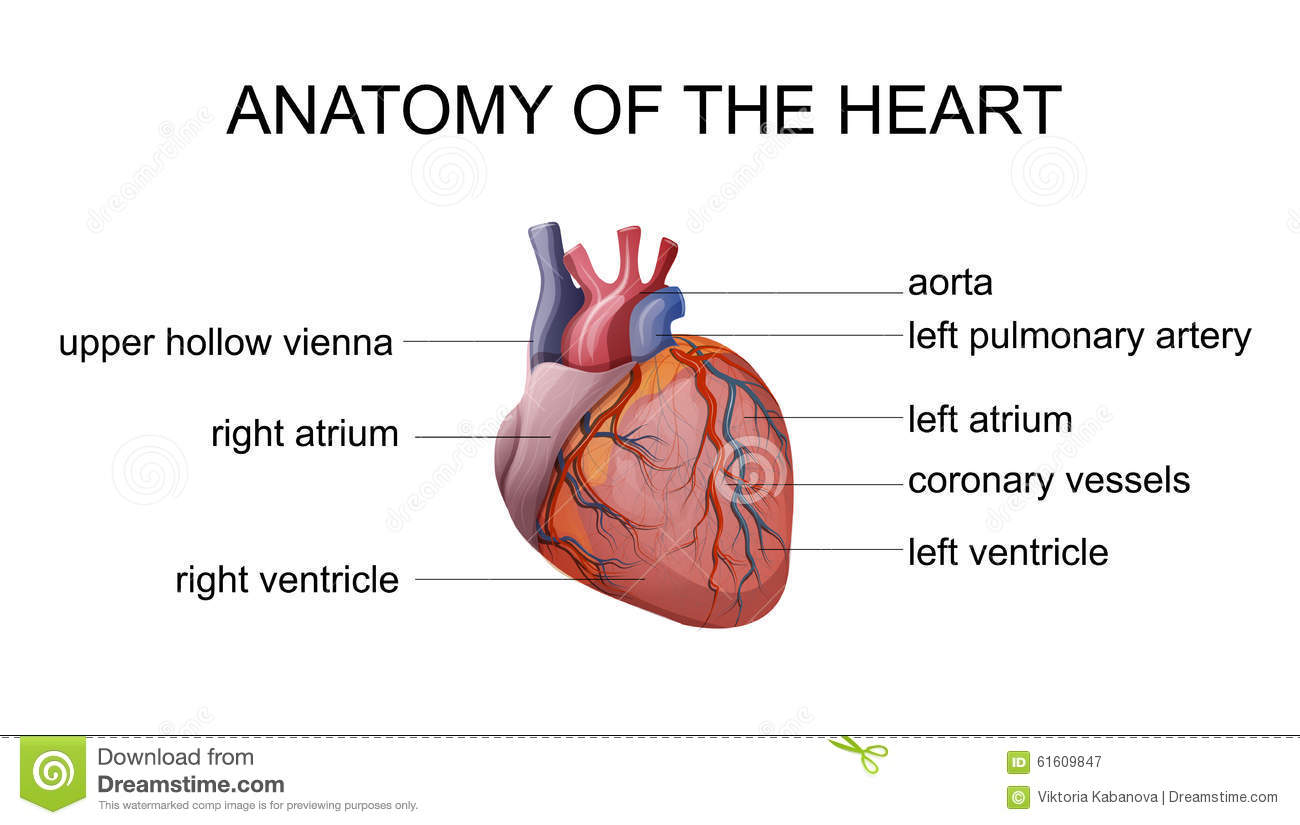 Anatomy of the heart stock vector image 61609847 for Atrium coeur