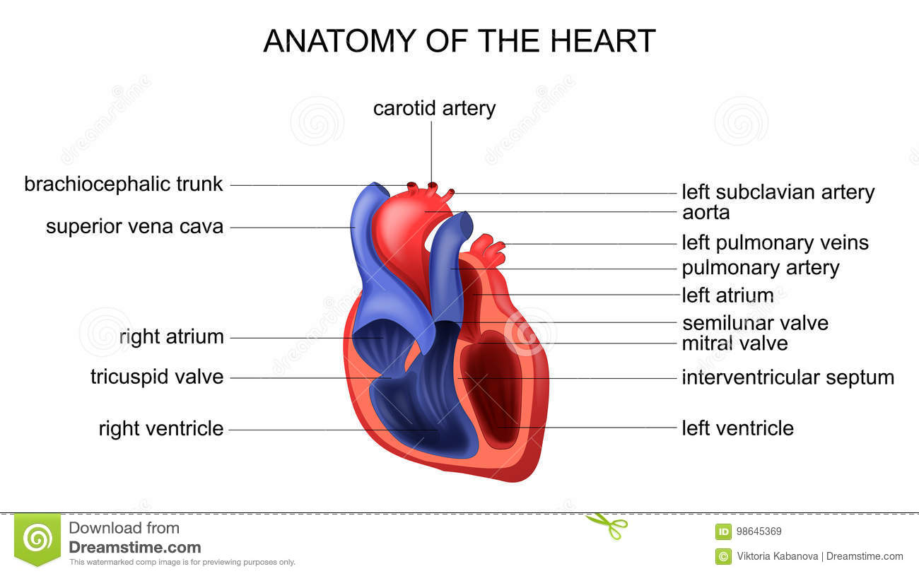 Anatomy of the heart stock vector. Illustration of anatomical - 98645369