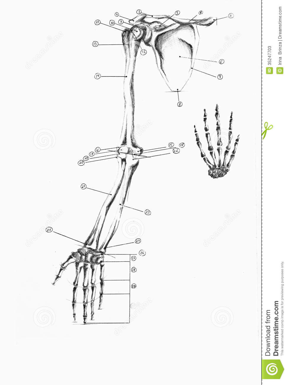 anatomy of human arm and hand stock photos