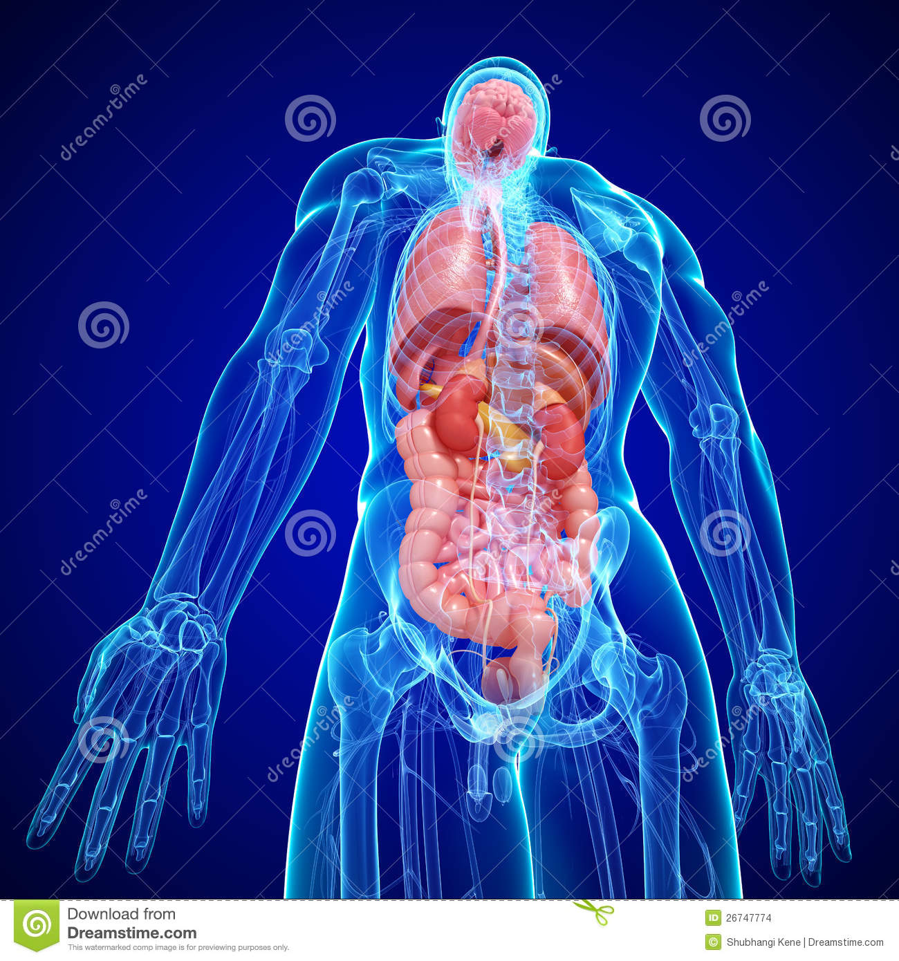 Anatomy Of Human Body Internal Structure Stock