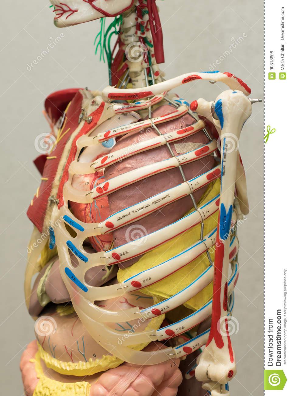Anatomy Human Body Model Part Of Human Body Model With Organ System