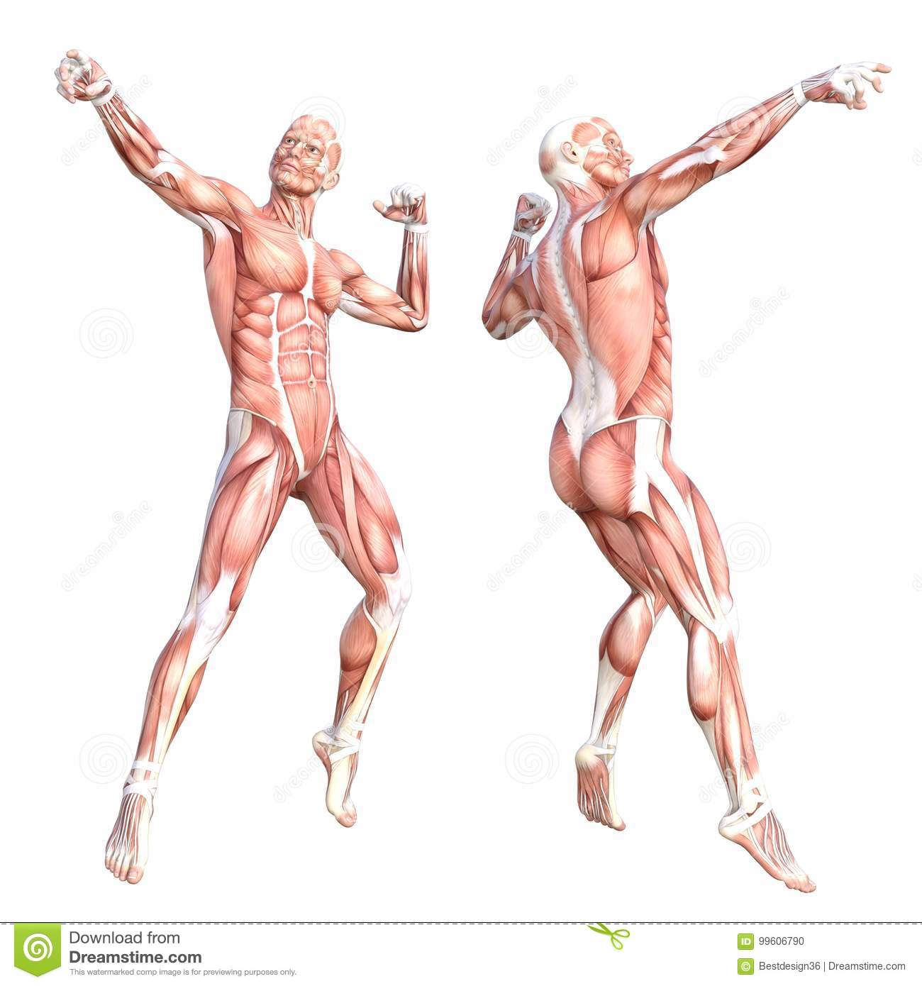 Anatomy Human Body Muscle System Set Stock Illustration ...