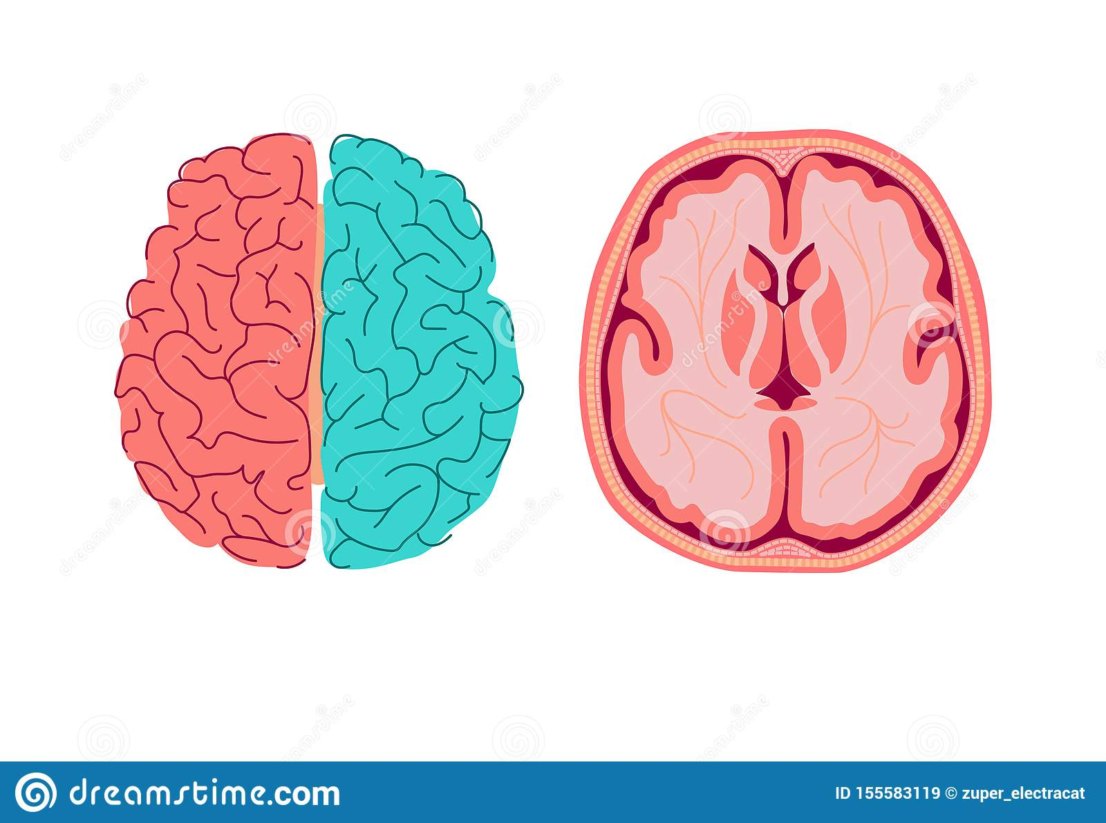 Anatomy Of Human Brain. Medical Diagram Of The Structure ...