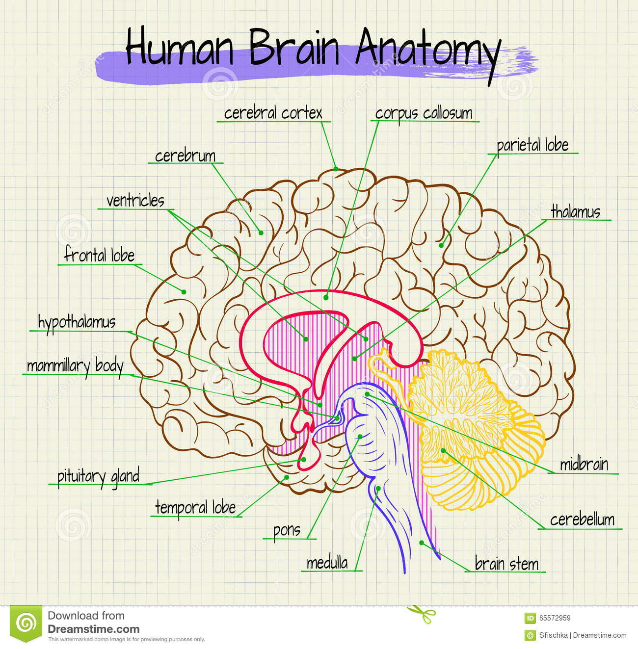 The anatomy of the human brain side view stock vector illustration the anatomy of the human brain side view ccuart Choice Image