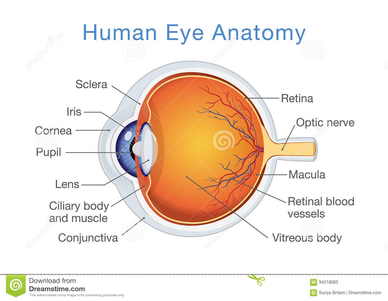 Anatomy Of Human Eye And Descriptions. Stock Vector - Illustration ...