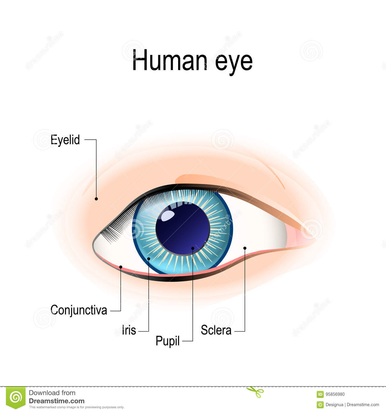 Anatomy Of The Human Eye In Front View Stock Vector - Illustration ...