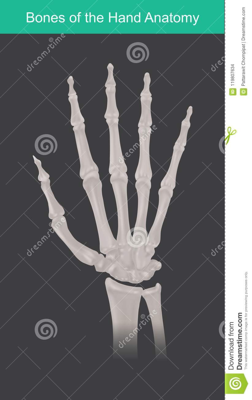 Anatomy Of Human Hand And Fingers Bones. Stock Vector - Illustration ...
