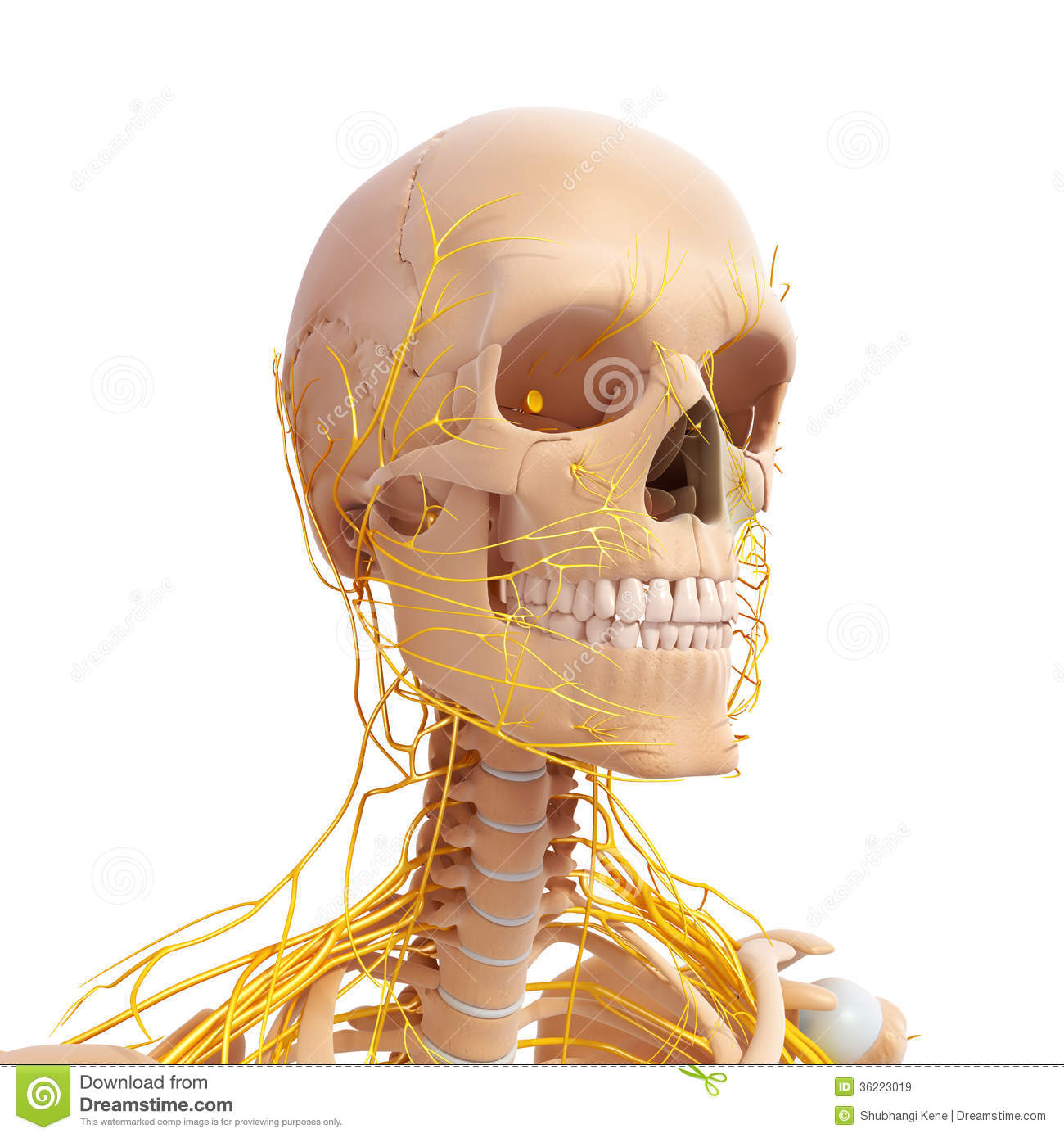 Anatomy Of Human Head Nervous System Stock Illustration