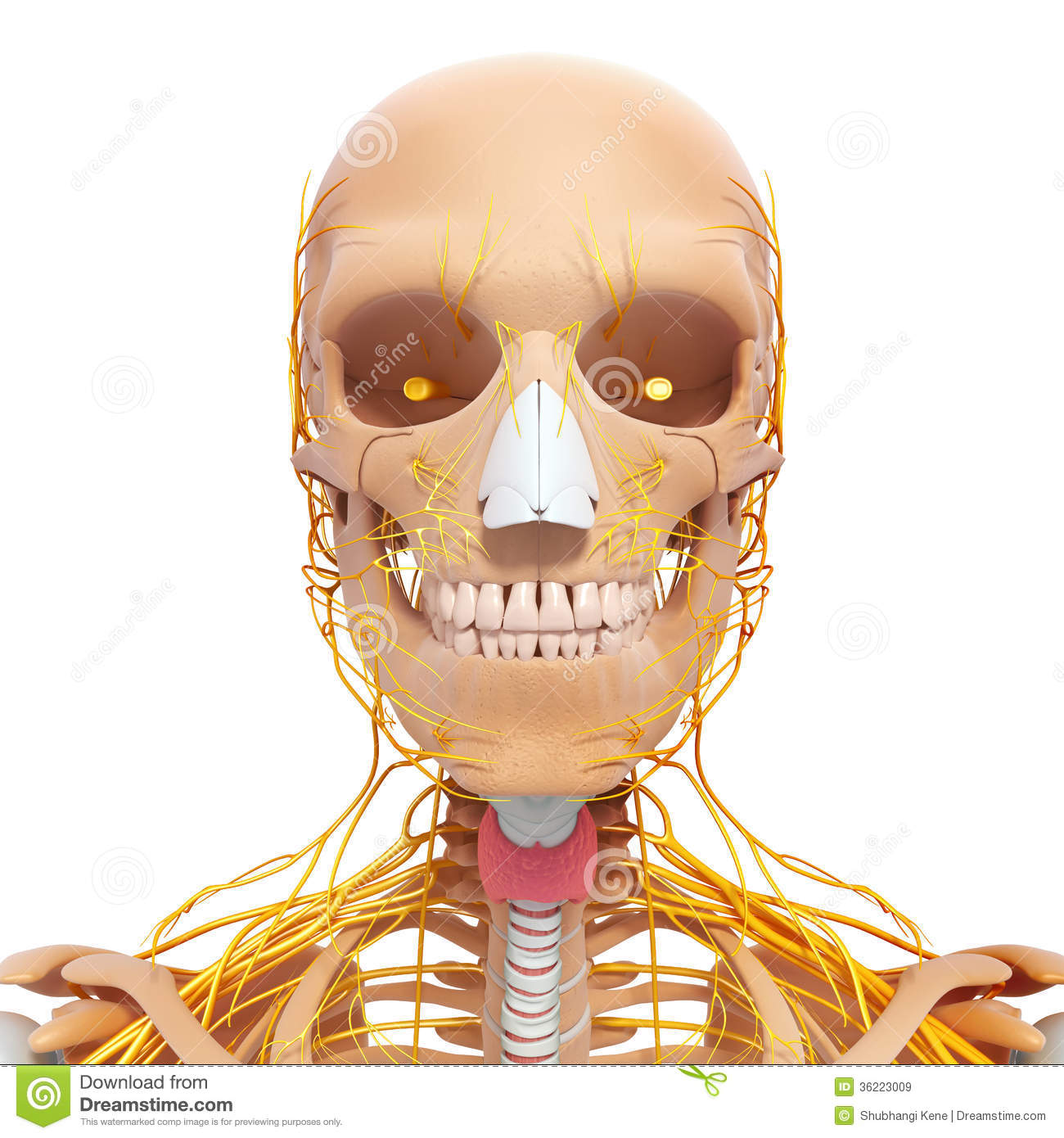 Anatomy Of Human Head Nervous System With Throat Stock Illustration ...