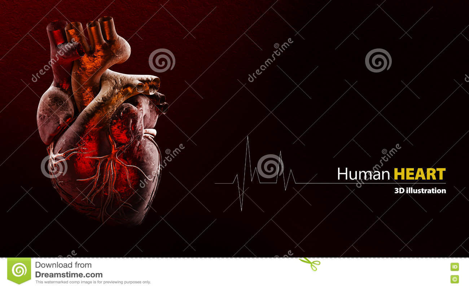 Anatomy of Human Heart