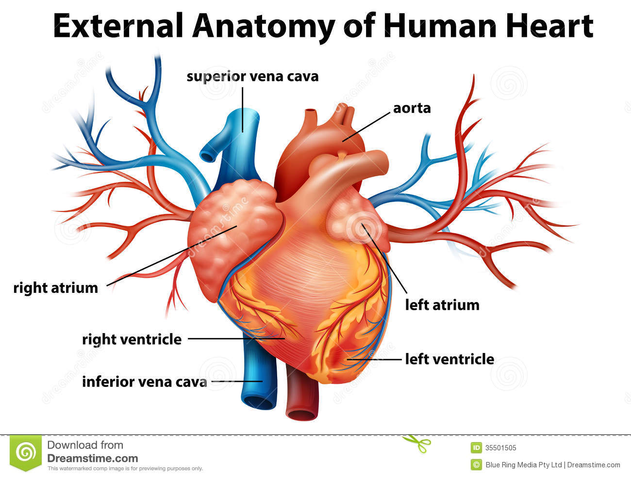 Anatomy Of The Human Heart Stock Vector Illustration Of Aorta