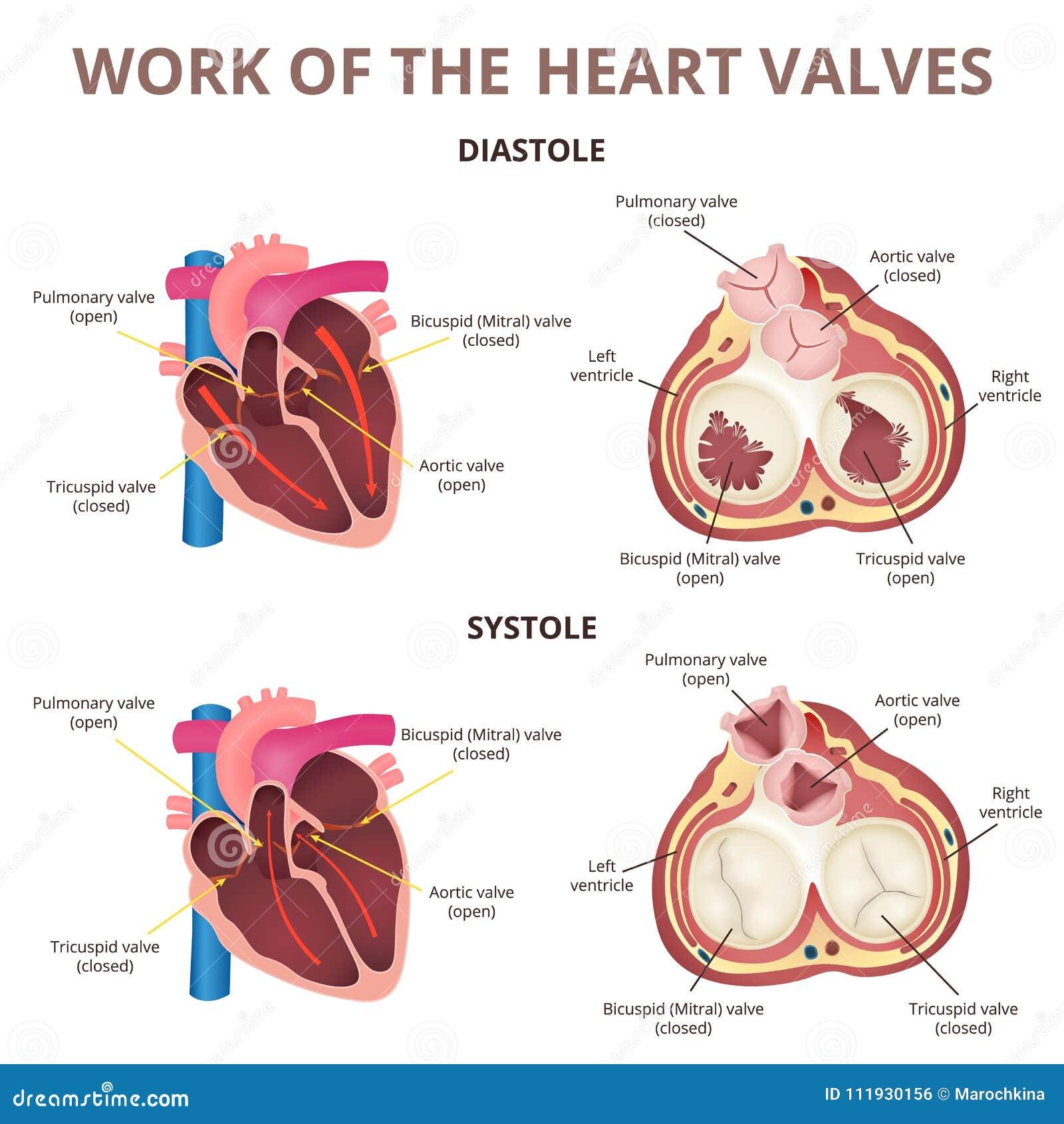 Anatomy Of The Human Heart Stock Vector Illustration Of