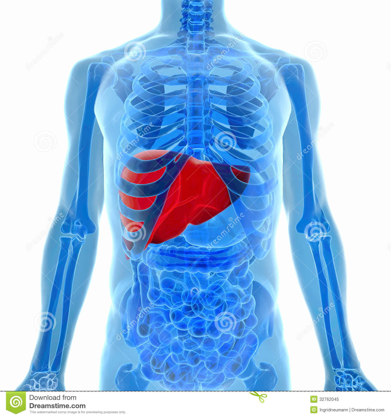 Anatomy Of Human Liver In X Ray View Stock Illustration